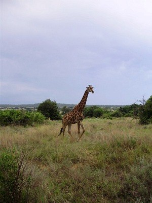 A giraffe lopes past the group
