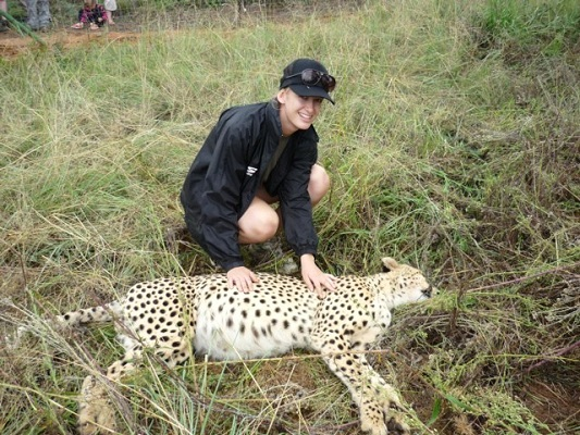 A volunteer watches over a cheetah sedated for relocation
