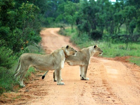Female lion with a radio collar - volunteers help to track the movements of the pride