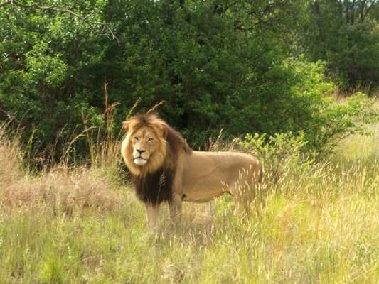 Male lions make stunning photographic subjects