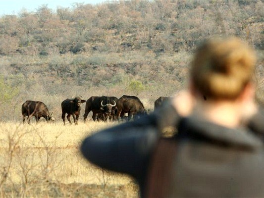 Volunteering at the Big 5 project - African buffaloes