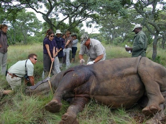 Volunteers assist with a rhino wound disinfection