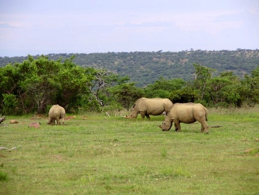 White rhinos graze in the grasslands