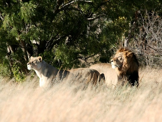 Work extensively with Big 5 species like lions