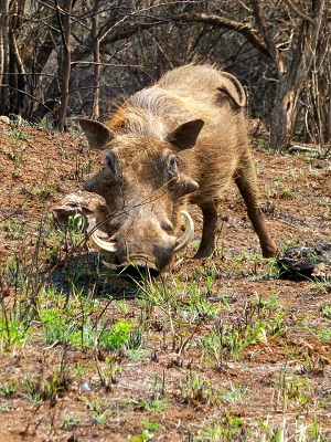 Comical warthogs can be seen in nearby wildlife reserves