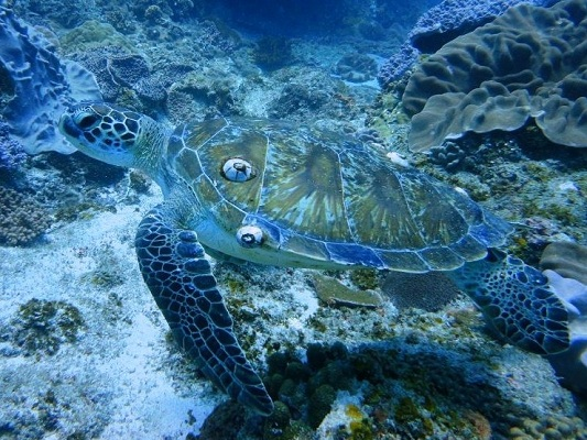 Green turtles are often seen feeding on Two Mile Reef