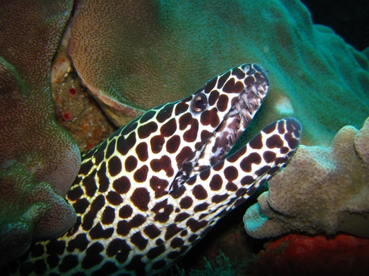 Honeycomb moray eels are frequently seen on the Sodwana reefs