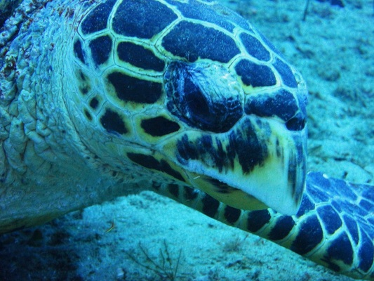 One volunteer task is to survey marine megafauna like this hawksbill turtle