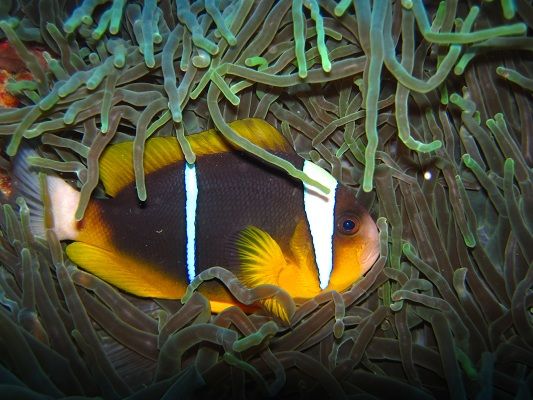 The two bar anemonefish uses this stinging anemone for protection at home