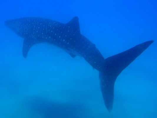 Whale shark - the largest fish in the ocean