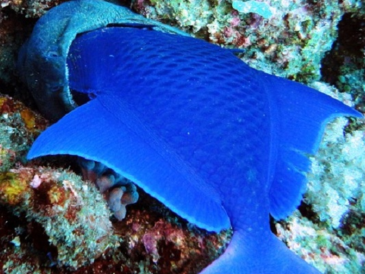 Witness rare reef interactions like this moray eel trying to eat a triggerfish
